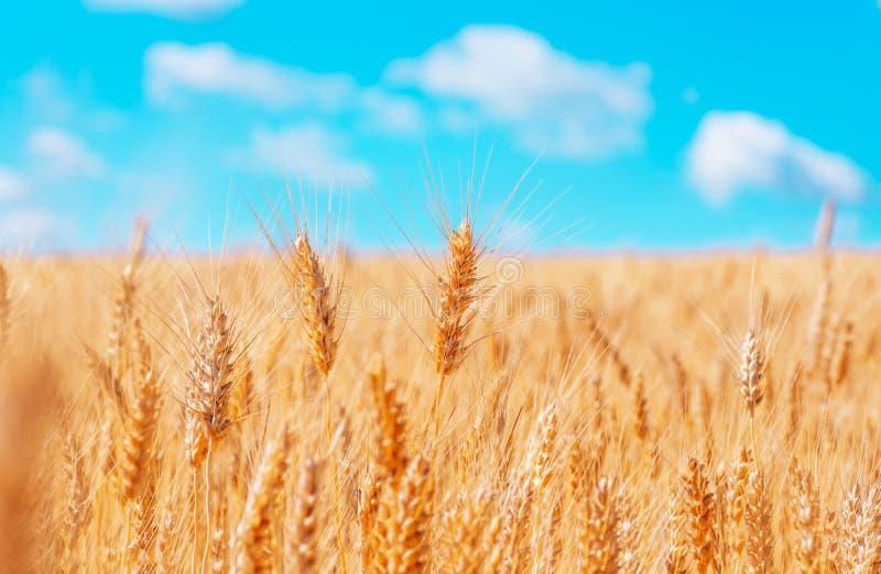Orelhas do ouro do trigo contra o céu azul imagens de stock royalty free