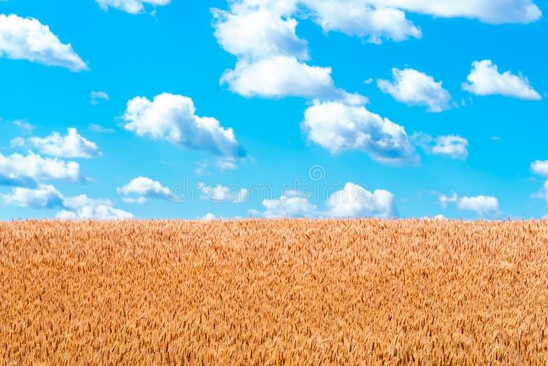Orelhas do ouro do trigo contra o céu azul e as nuvens imagens de stock royalty free