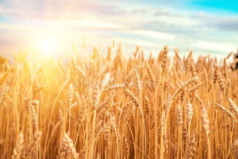 Orelhas do ouro do trigo contra o céu azul e as nuvens imagens de stock