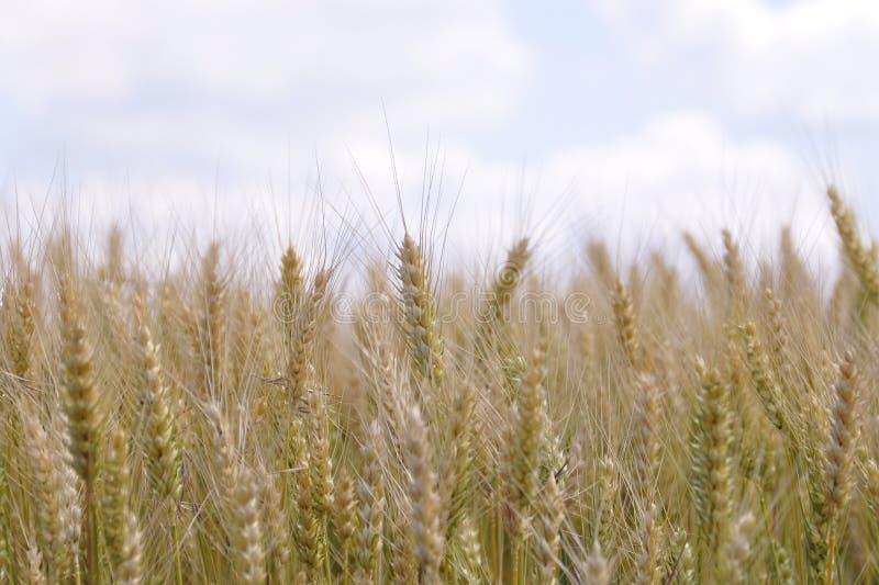 Orelhas do ouro do trigo contra o céu azul e as nuvens, campo de trigo fotografia de stock