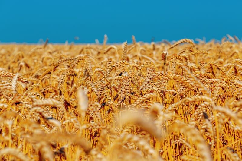 Orelhas do ouro do trigo contra o céu azul e as nuvens foco macio, close up, fundo da agricultura imagem de stock