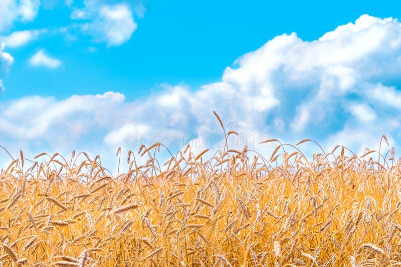 Orelhas do ouro do trigo contra o c?u azul foto de stock