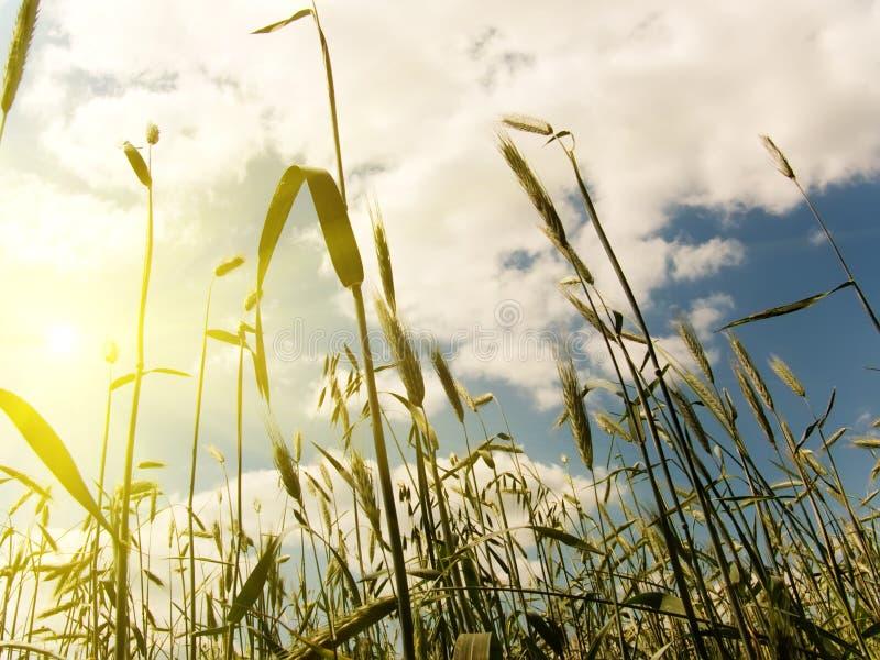 Download Orelhas do trigo imagem de stock. Imagem de agricultura - 10062887