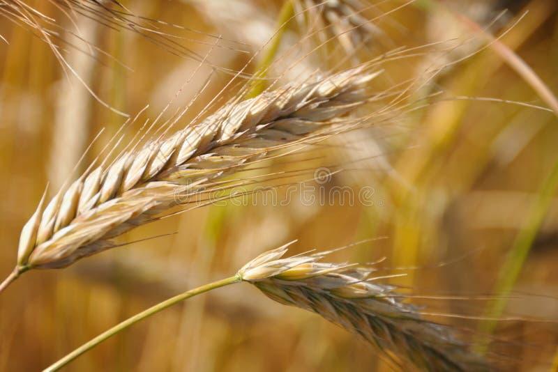 Orelhas do trigo imagens de stock royalty free