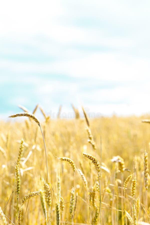 Download Orelhas do trigo imagem de stock. Imagem de pão, campo - 65576787