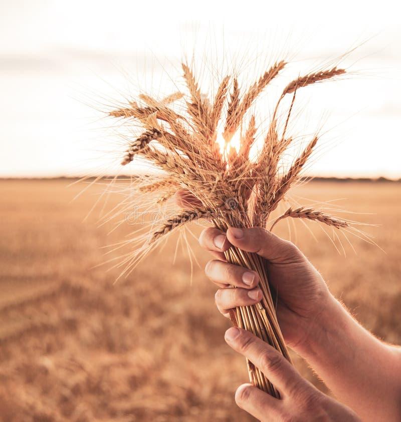 Orelhas do trigo da posse da m?o do homem no fundo do campo fotografia de stock royalty free