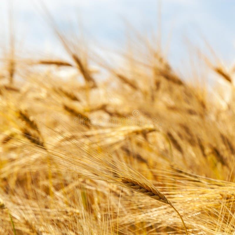 Orelhas do trigo de encontro ao céu azul imagens de stock
