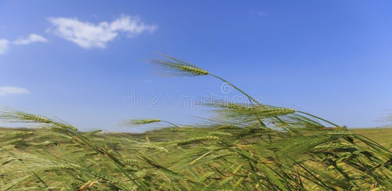 Orelhas do trigo de encontro ao céu azul imagem de stock royalty free