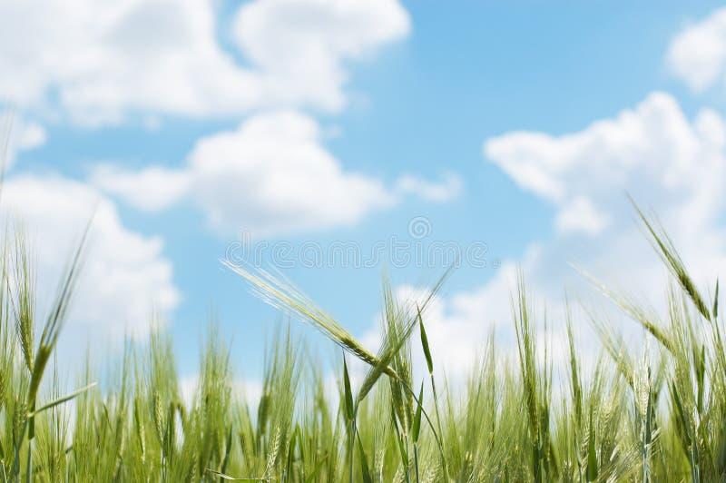 Orelhas do trigo de encontro ao céu azul fotos de stock