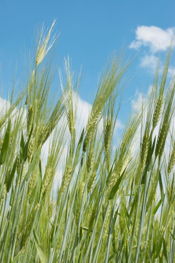 Orelhas do trigo de encontro ao céu azul foto de stock