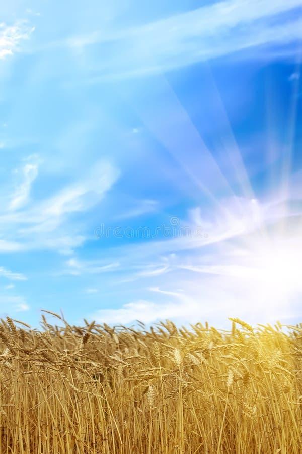 Orelhas do trigo do campo do nascer do sol fotos de stock