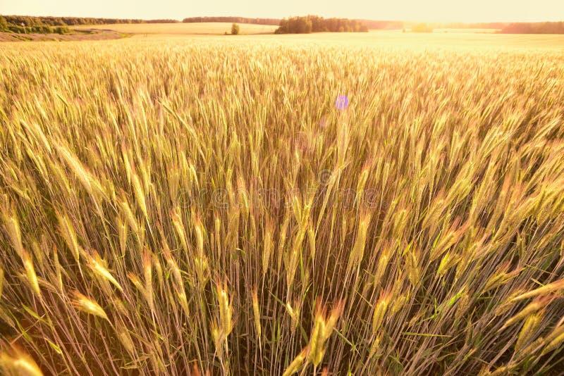 Orelhas do trigo dourado no campo fotografia de stock