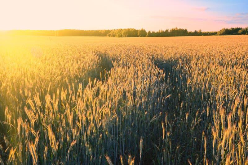 Orelhas do trigo dourado no campo na luz do por do sol foto de stock