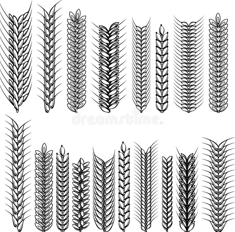 Orelhas do trigo e do centeio. Coleção decorativa. Vect ilustração do vetor
