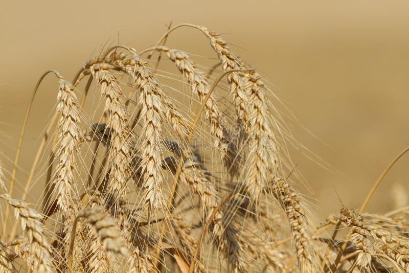 Orelhas do trigo maduro imagens de stock