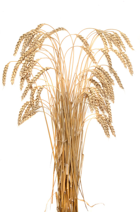 Orelhas do trigo maduro em um fundo branco fotos de stock