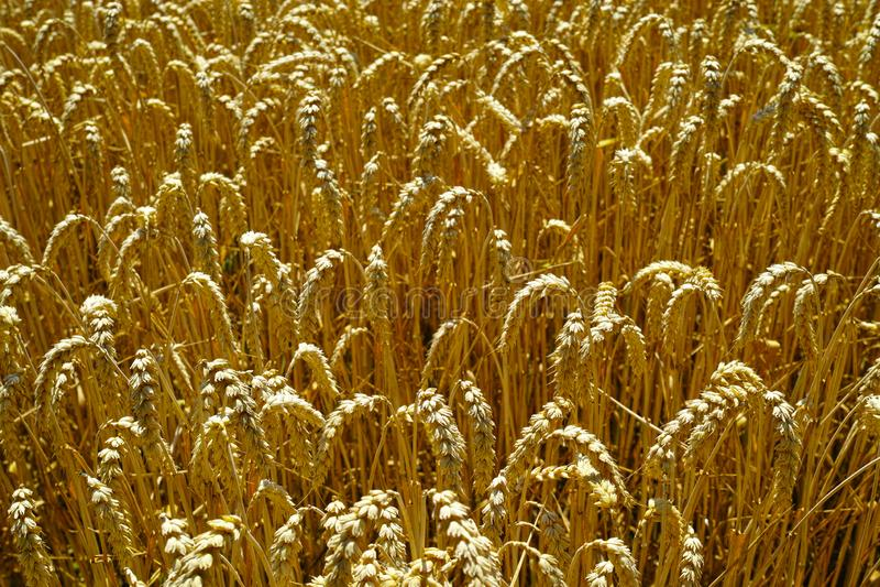 Orelhas do trigo maduro na luz solar imagens de stock royalty free