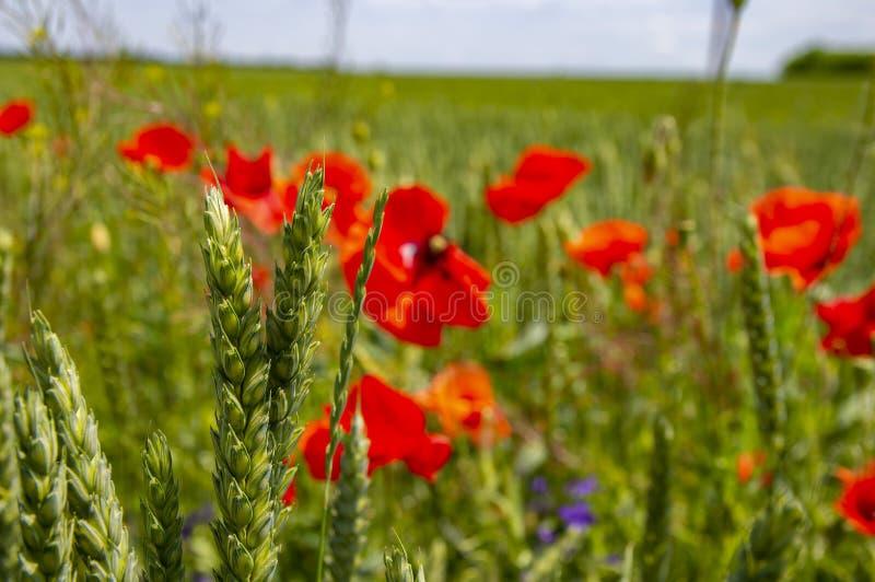 Orelhas do trigo na perspectiva das flores da papoila imagem de stock royalty free