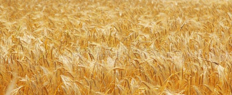 Orelhas douradas da cevada em uma agricultura do campo, agronomia, conceito da ind?stria imagem de stock