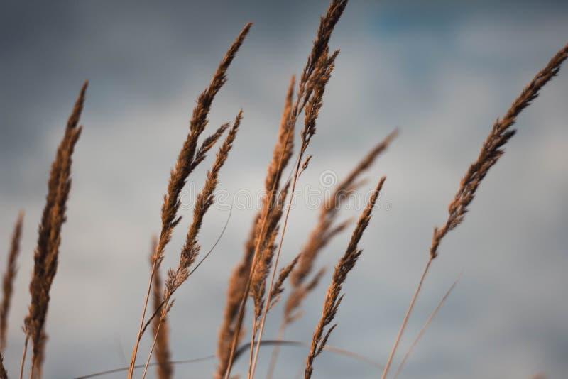 Orelhas douradas do trigo contra o close-up do céu nebuloso Olhares amarelos do centeio do outono no céu fotografia de stock royalty free
