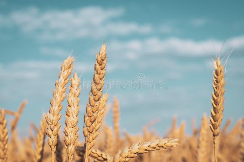 Orelhas douradas do trigo de amadurecimento contra um céu nebuloso imagens de stock royalty free