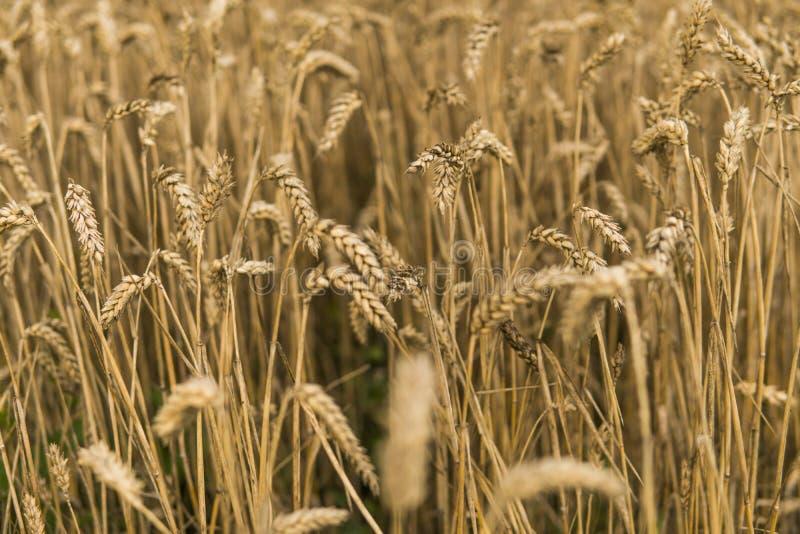 Orelhas douradas do trigo no campo contra o céu nebuloso agricultura Crescimento do trigo Trigo de amadurecimento das orelhas agr fotos de stock royalty free