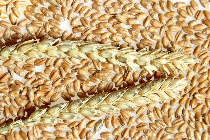 Orelhas e milho do trigo foto de stock royalty free
