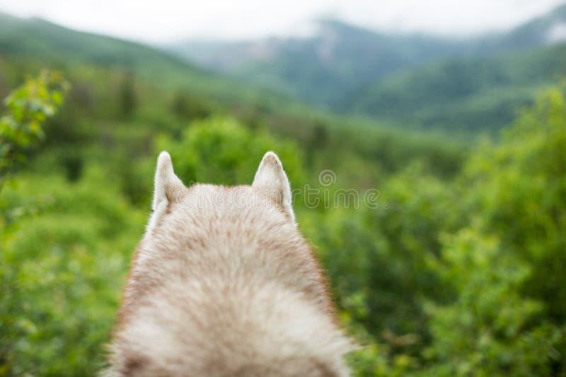 Orelhas macias do cão de puxar trenós siberian no close-up da floresta das orelhas do ` s do cão no fundo verde natural da montan fotos de stock royalty free