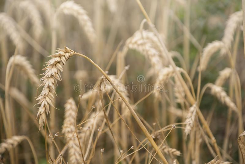 Orelhas maduras do trigo em um campo Campo de trigo Orelhas do fim dourado do trigo acima Fundo das orelhas de amadurecimento do  fotografia de stock royalty free