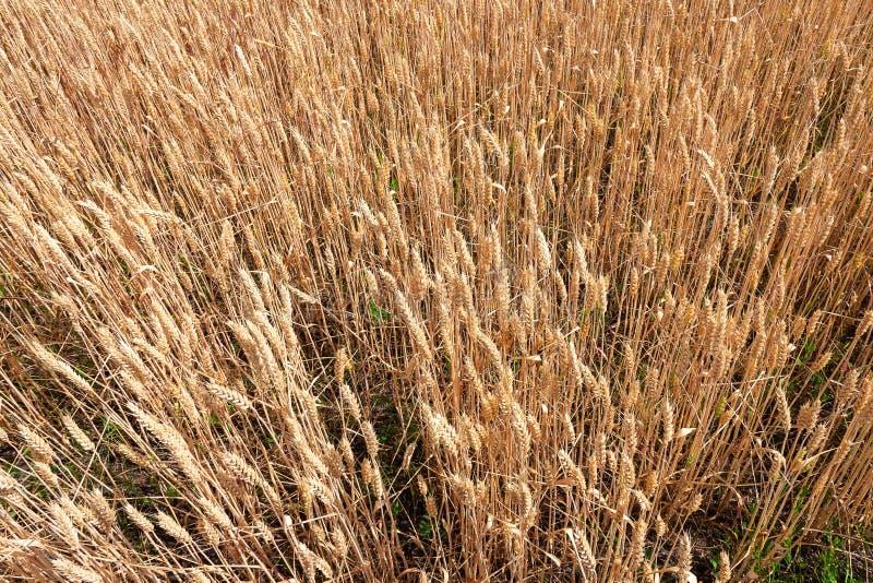 Orelhas maduras do trigo em um campo Campo de trigo Orelhas do fim dourado do trigo acima imagem de stock
