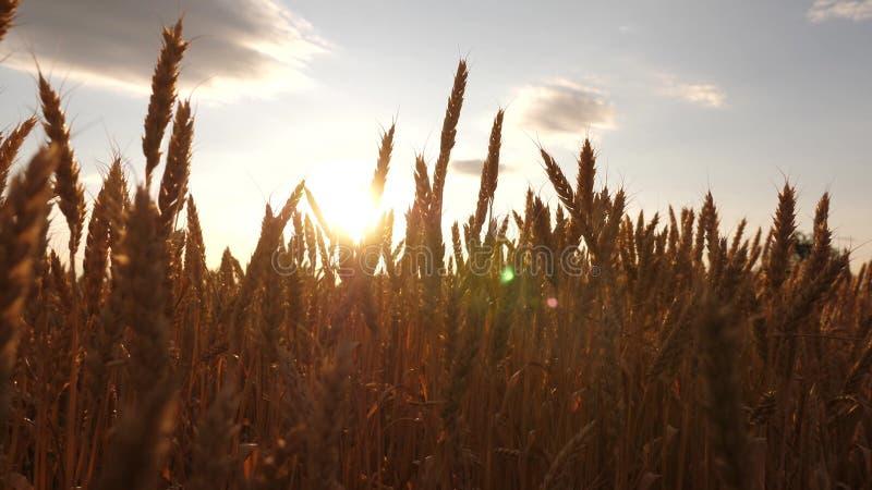 Orelhas maduras do trigo no campo Céu bonito com as nuvens no campo sobre um campo de trigo colheita madura do cereal contra imagens de stock