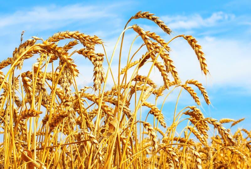 Orelhas maduras do trigo no campo durante o fim da colheita acima Paisagem do verão da agricultura Fundo natural rural fotos de stock royalty free