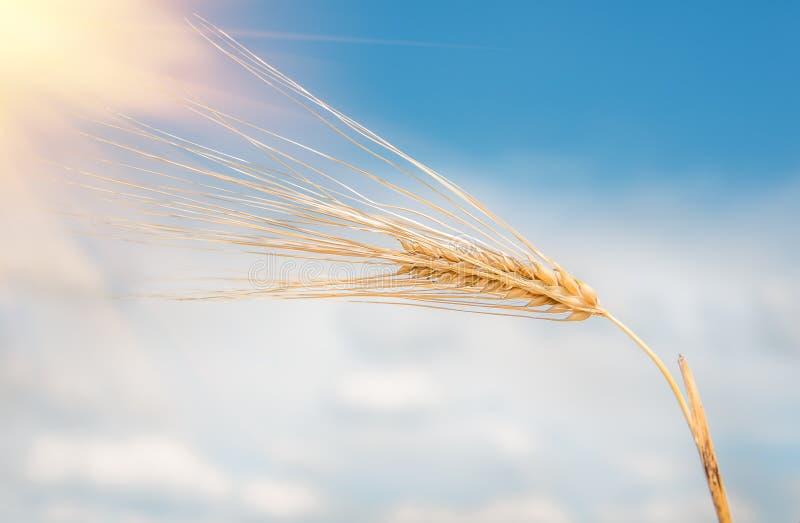 Orelhas maduras douradas orgânicas do trigo imagens de stock royalty free