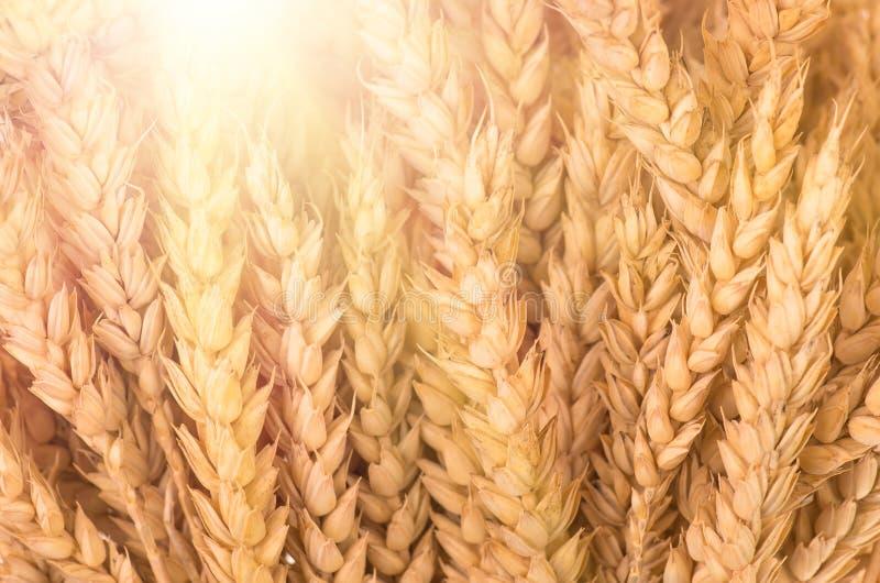 Orelhas maduras douradas orgânicas do trigo imagens de stock