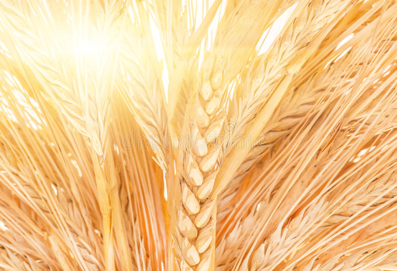 Orelhas maduras douradas orgânicas do trigo, close up fotografia de stock royalty free