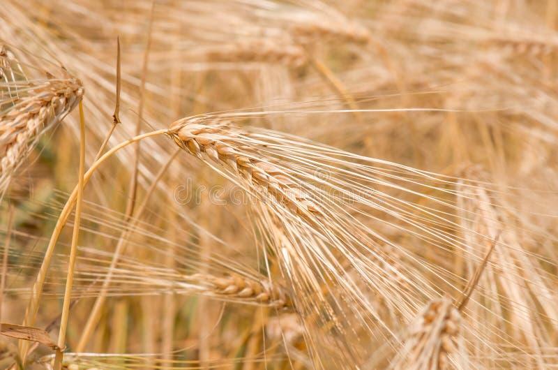 Orelhas maduras douradas orgânicas do trigo no campo imagem de stock royalty free