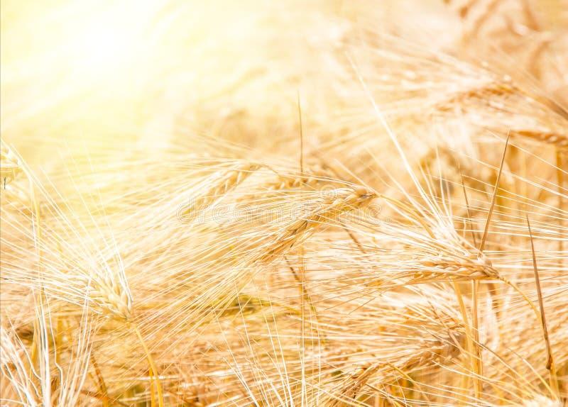 Orelhas maduras douradas orgânicas do trigo no campo foto de stock