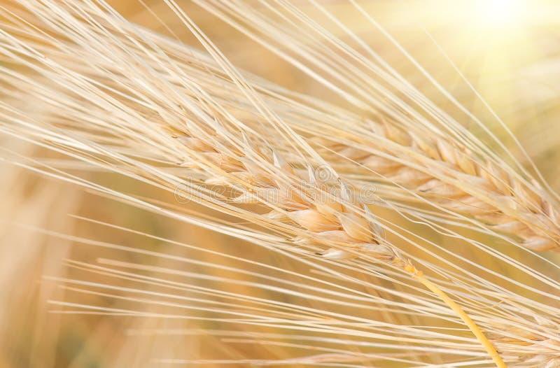 Orelhas maduras douradas orgânicas do trigo no campo fotografia de stock royalty free