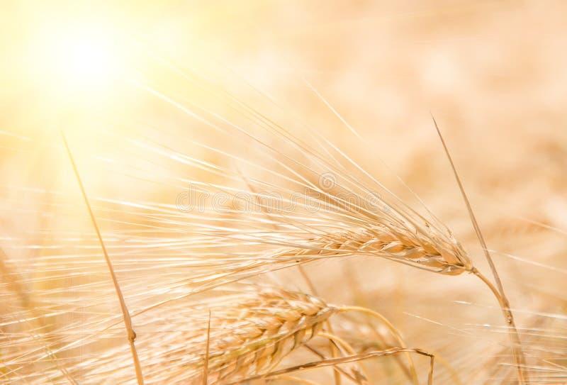 Orelhas maduras douradas orgânicas do trigo no campo fotos de stock royalty free