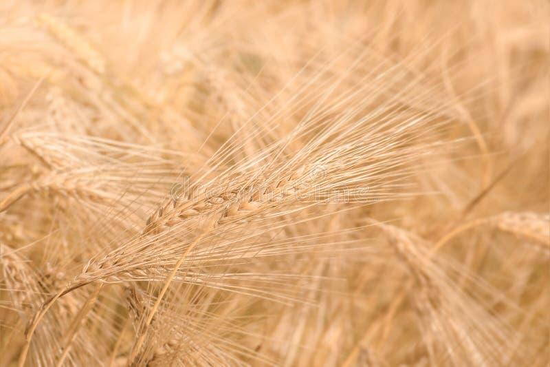 Orelhas maduras douradas orgânicas do trigo no campo imagens de stock royalty free