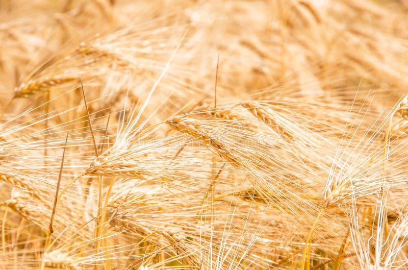 Orelhas maduras douradas orgânicas do trigo no campo fotos de stock