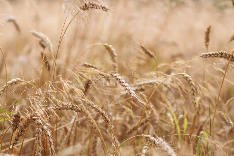 Orelhas maduras douradas orgânicas do trigo no campo, foco macio, close up, fundo da agricultura imagem de stock royalty free