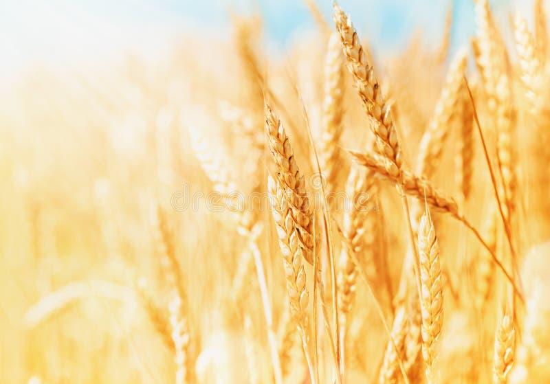 Orelhas maduras e orgânicas do trigo durante a colheita contra o céu azul no dia ensolarado Paisagem bonita do campo de trigo fotografia de stock