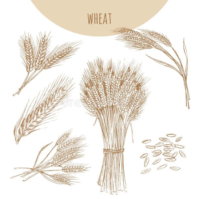 Orelhas, polia e grões do trigo Desenho tirado mão do esboço dos cereais ilustração stock