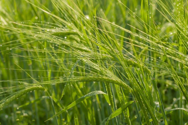 Orelhas verdes do trigo fotografia de stock royalty free