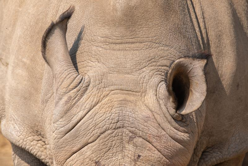 Oren van een witte rinoceros royalty-vrije stock afbeelding
