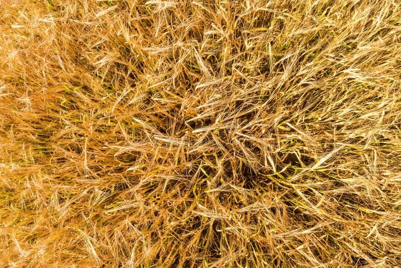 Oren van gerstslingering in de wind Gebied van de mooie gerst van de de zomer gouden rogge en tarweclose-up voor de groene indust stock foto
