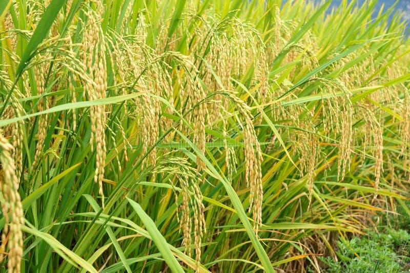 Oren van rijst royalty-vrije stock foto's