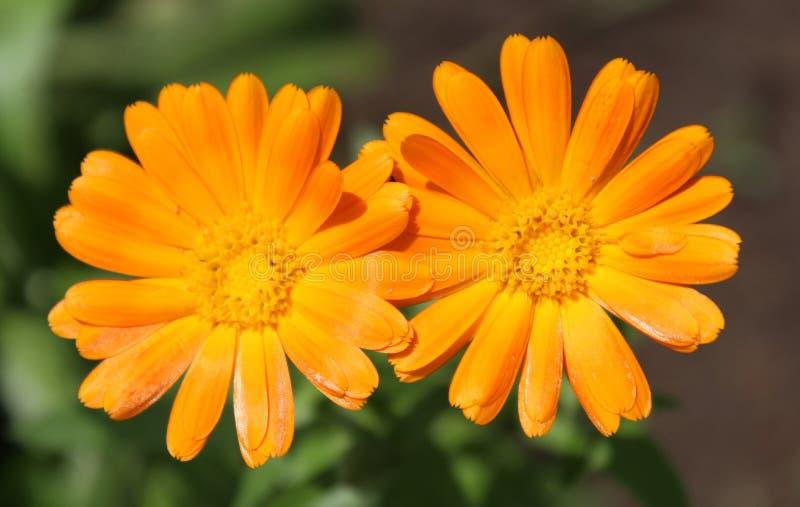 Orenge colored flower stock photography