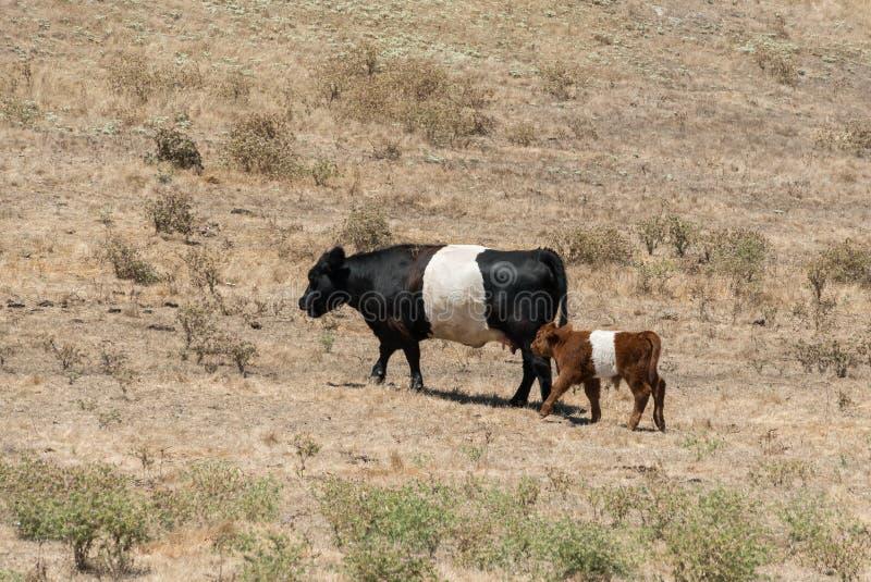Oreo ciastka krowy, dwa koloru zdjęcie royalty free